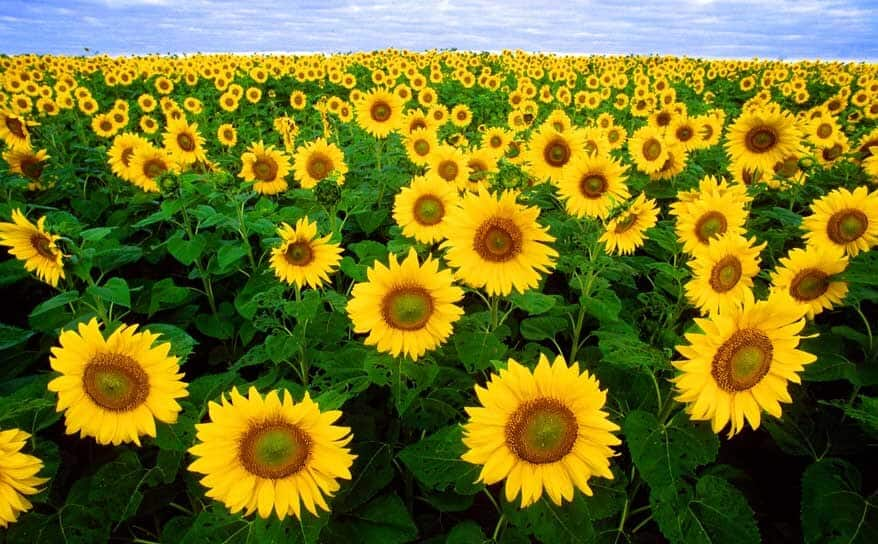 Sunflower public domain 3 sm