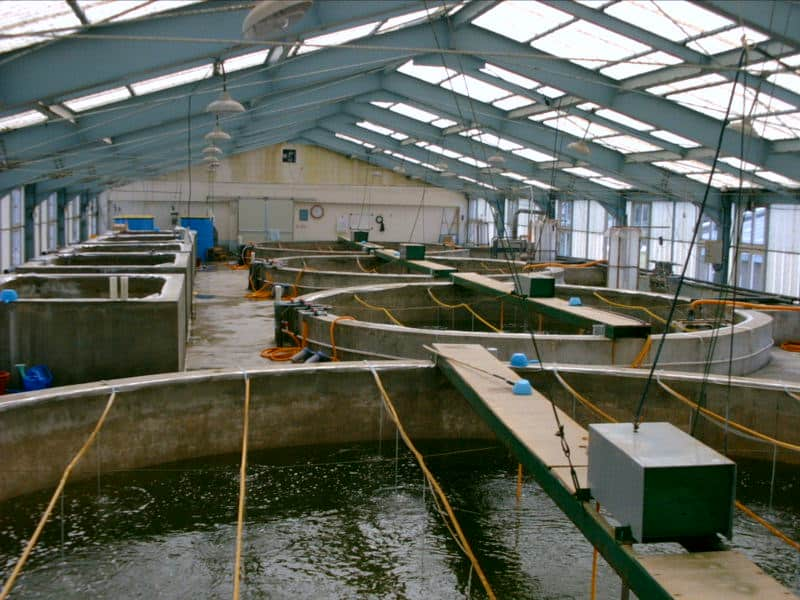 Tanks in a shrimp hatchery