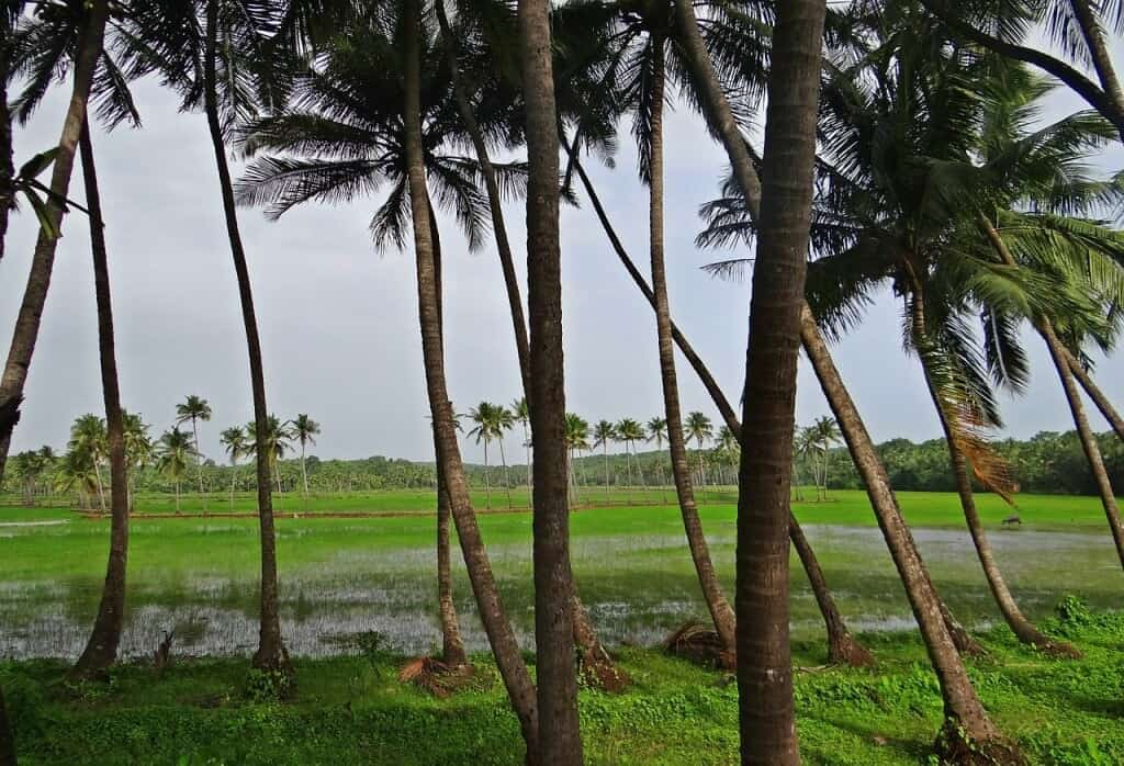 coconut-groves-382231_1280