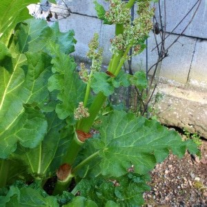Rhubarb Flowers: What To Do When Rhubarb Bolts and Goes To Seed
