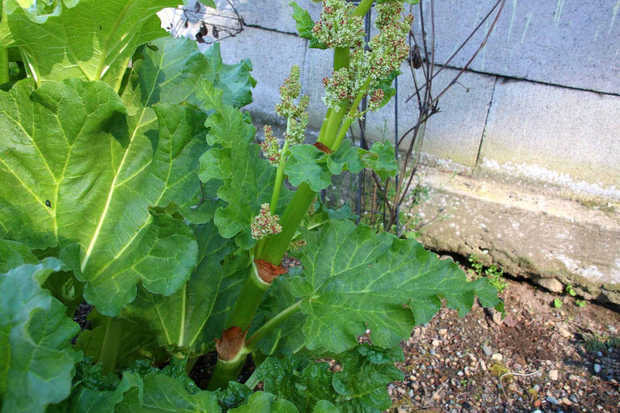 how to cut rhubarb of the plant