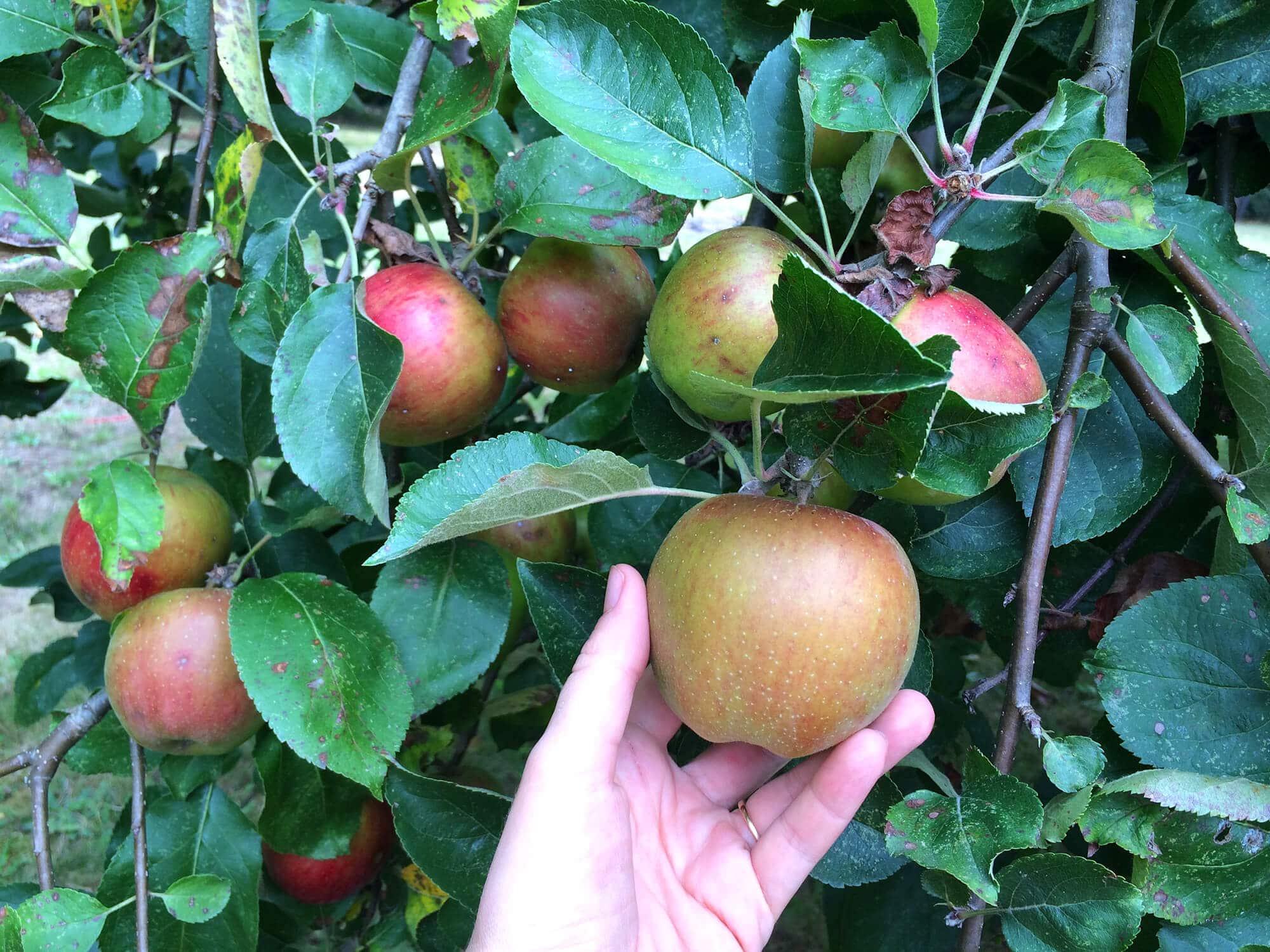 apple-press-14