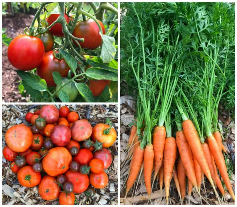fresh tomatoes and carrots for creamy tomato soup