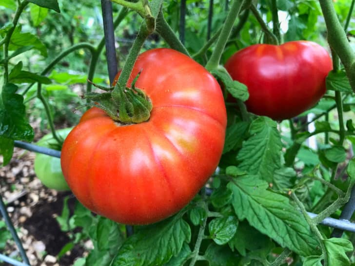 how to save tomato seeds how to store tomato seeds