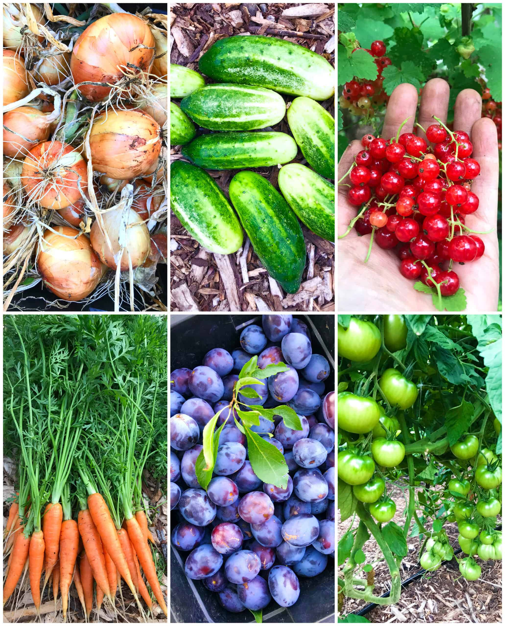 vegetables and fruits grown with worm casting tea organic gardening vermicompost